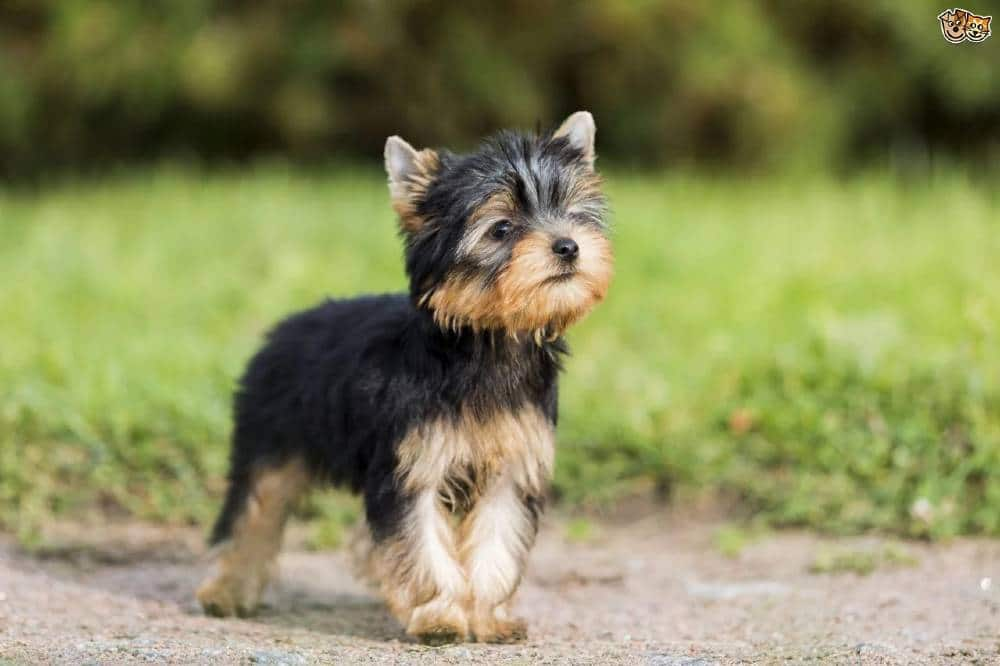 yorkshire terrier information