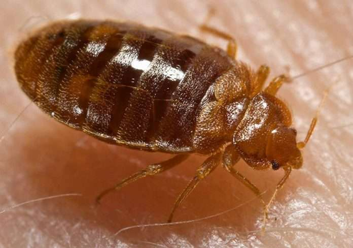bed bugs how to check for them